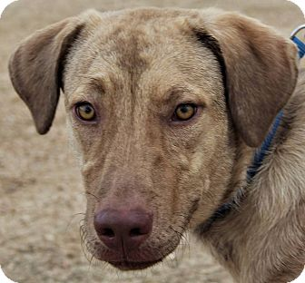 Husky/Plott Hound Mix Dog for adoption in Seattle, Washington - Jenny
