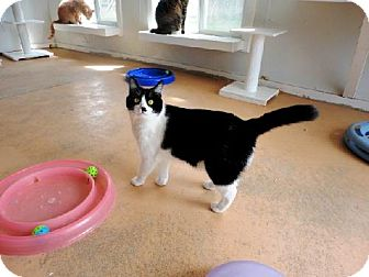 Domestic Shorthair Cat for adoption in Belleville, Michigan - Smores