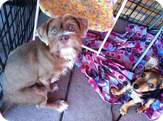 Terrier (Unknown Type, Small) Mix Dog for adoption in North Hollywood, California - Piper