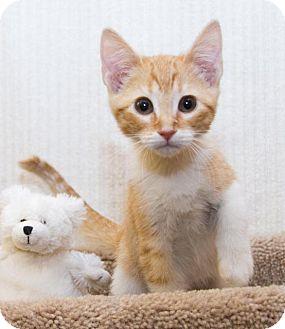 American Shorthair Kitten for adoption in Irvine, California - Bristol