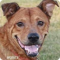 Australian Kelpie/Shepherd (Unknown Type) Mix Dog for adoption in Lone Oak, Texas - Honey