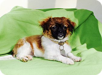 Pekingese Mix Puppy for adoption in Los Angeles, California - Beetle