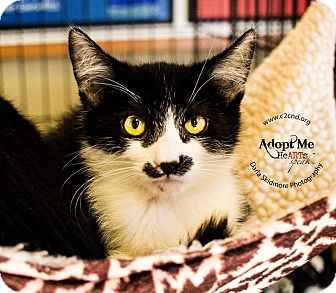 Domestic Shorthair Kitten for adoption in Charlotte, North Carolina - A..  Jagger