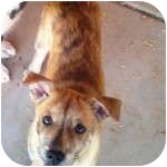 Labrador Retriever/Australian Shepherd Mix Puppy for adoption in Gilbert, Arizona - HELENA