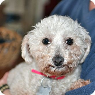 Poodle (Miniature) Dog for adoption in Howell, Michigan - Nellie