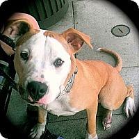 Adopt A Pet :: Quincy - Cypress, CA