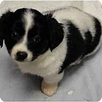 Adopt A Pet :: Phineas - Arlington, TX