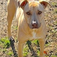 Labrador Retriever Dog for adoption in Memphis, Tennessee - Jordan