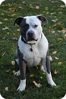 American Staffordshire Terrier Mix Dog for adoption in Manitowoc, Wisconsin - Kane