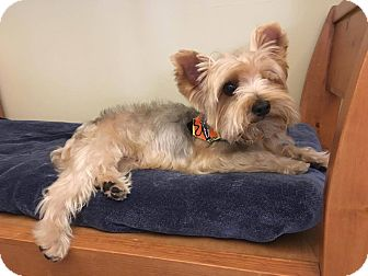 Yorkie, Yorkshire Terrier Mix Dog for adoption in Los Angeles, California - Gigi