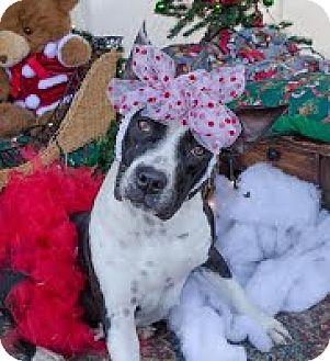 American Pit Bull Terrier/Labrador Retriever Mix Dog for adoption in Darlington, South Carolina - Alexis