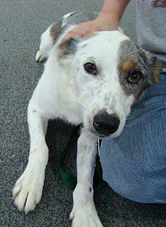 Australian Shepherd Mix Dog for adoption in Rosalia, Kansas - Sadie