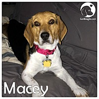 Adopt A Pet :: Macey - Novi, MI