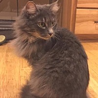 Adopt A Pet :: Lupine - Springfield, OR