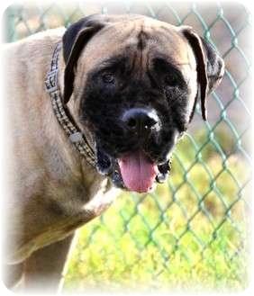 "Bullmastiff/Mastiff Mix Dog for adoption in Phoenix, Arizona - Vincent ""Vinnie"""