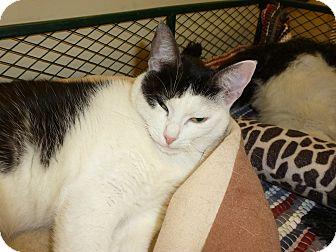Domestic Shorthair Cat for adoption in Lake Charles, Louisiana - Ladybug