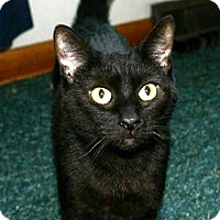 Domestic Shorthair Cat for adoption in Columbus, Ohio - Momma Gump
