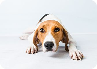 Foxhound Mix Dog for adoption in Hendersonville, North Carolina - Corbin