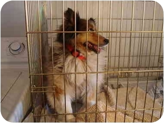 Sheltie, Shetland Sheepdog Dog for adoption in Leoti, Kansas - Sarah