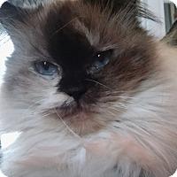 Adopt A Pet :: Patches (Himalayan Persian) - Witter, AR