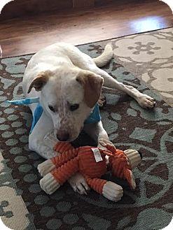 Australian Cattle Dog/German Shepherd Dog Mix Dog for adoption in Canton, Connecticut - Peter