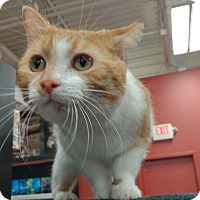 Adopt A Pet :: Orangesicle - Columbus, OH