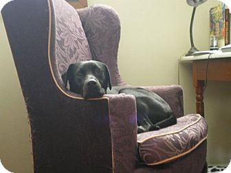 Labrador Retriever/Greyhound Mix Dog for adoption in Conyers, Georgia - Chompers