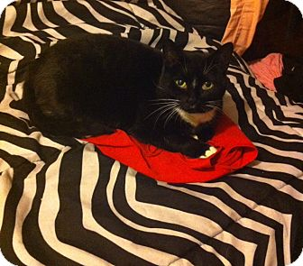 Domestic Shorthair Cat for adoption in Montreal, Quebec - *URGENT Betty