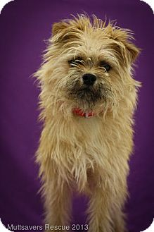 Brussels Griffon/Terrier (Unknown Type, Small) Mix Dog for adoption in Broomfield, Colorado - JohnnyCakes