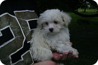 Shih Tzu/Poodle (Miniature) Mix Puppy for adoption in Northumberland, Ontario - puppy 1 male  left
