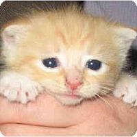 Adopt A Pet :: Jennifers Female kitts - Cincinnati, OH