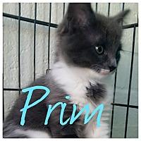 Adopt A Pet :: Prim - Scottsdale, AZ