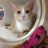 Domestic Shorthair Cat for adoption in Baton Rouge, Louisiana - Copper