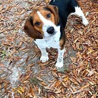 Beagle Dog for adoption in Baton Rouge, Louisiana - River