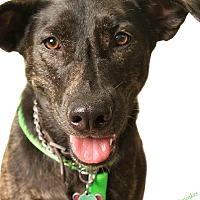 Adopt A Pet :: FREEDOM the WONDER GIRL - Alabaster, AL