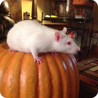 Rat for adoption in Philadelphia, Pennsylvania - SOUTH PHILLY Group: BABY BOYS!