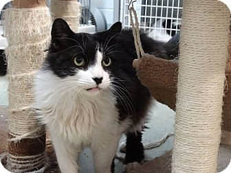 Domestic Longhair Cat for adoption in Bloomfield, New Jersey - LENNY