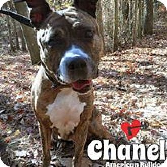 American Bulldog Mix Dog for adoption in Jackson, New Jersey - Chanel