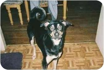 German Shepherd Dog Mix Dog for adoption in Quincy, Massachusetts - Sweet Shepherd Boy!