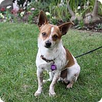 Adopt A Pet :: PERCY - Newport Beach, CA