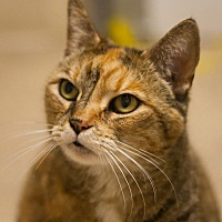 Domestic Shorthair Cat for adoption in Circleville, Ohio - MaryAnne