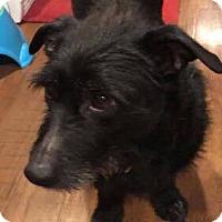 Adopt A Pet :: Juno - Renton, WA