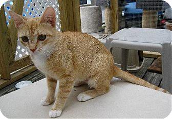 Domestic Shorthair Cat for adoption in Fort Wayne, Indiana - Scarlett