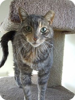 Calico Cat for adoption in Huntington Station, New York - CORA