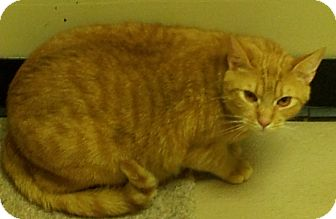 Domestic Shorthair Cat for adoption in Birmingham, Alabama - Ross