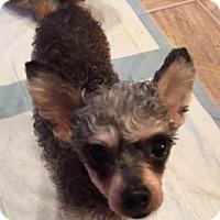 Adopt A Pet :: Lil Bit - Beavercreek, OH