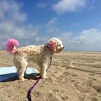 Adopt A Pet :: Maya loves to cuddle! - Redondo Beach, CA