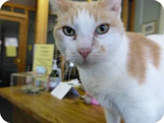Domestic Shorthair Cat for adoption in Quincy, California - Patches