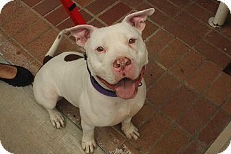 Dogo Argentino/Dalmatian Mix Dog for adoption in Dallas, Texas - Milo