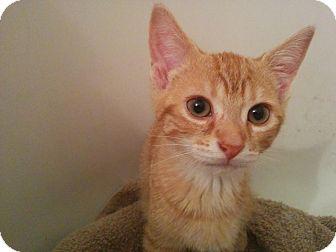 Domestic Shorthair Kitten for adoption in Lindsay, Ontario - Peter Pan